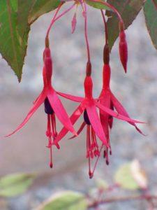 balkonplant - fuchsia