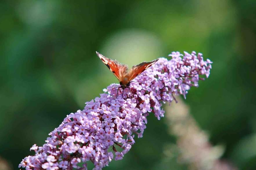 vlinderweek