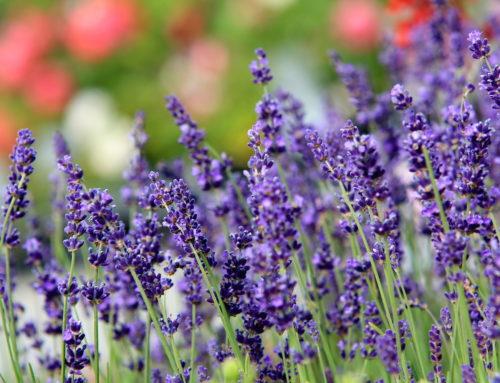 Bastin, tot 100 soorten lavendel