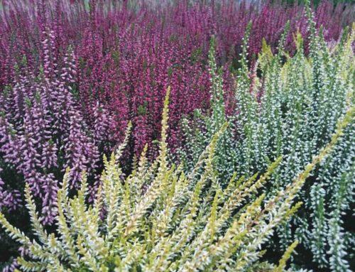 Struikheide: Garden Girls kleuren het najaar