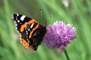 vlinders-atalanta