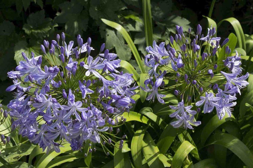 agapanthus planten in het najaar
