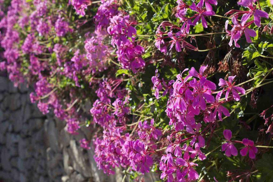 pelargoniums geranium