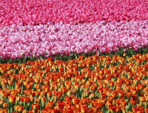 Bloemenradar brengt u naar de mooiste bollenvelden