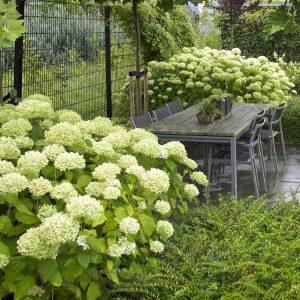 kleigrond hortensia