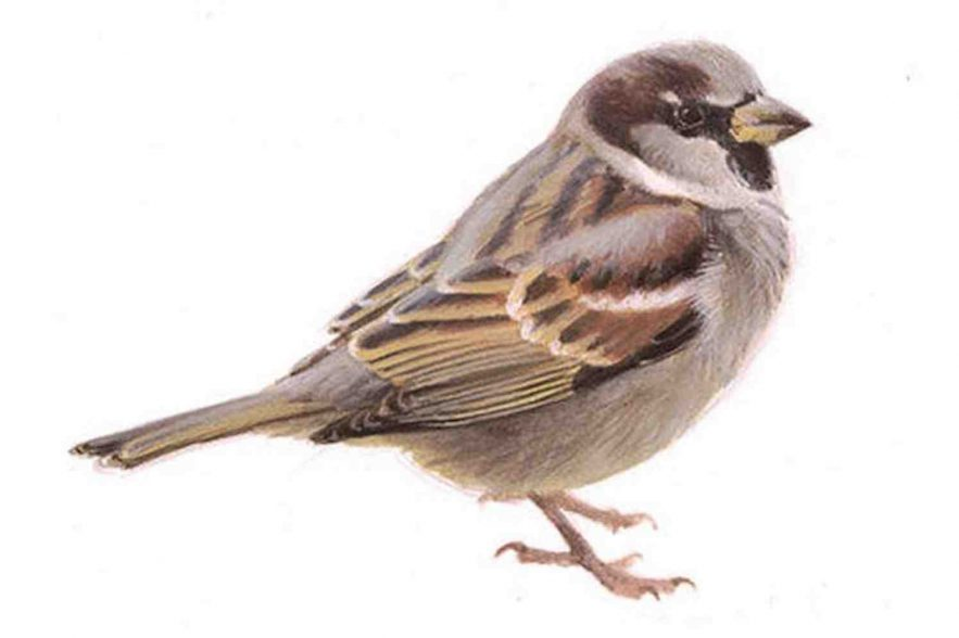 huismus vogeltelling