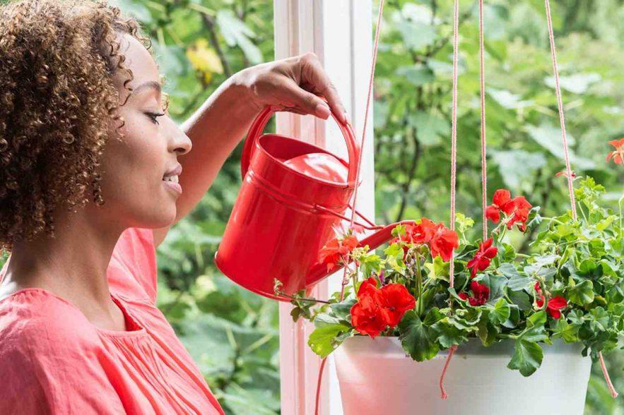 geranium balkonplant
