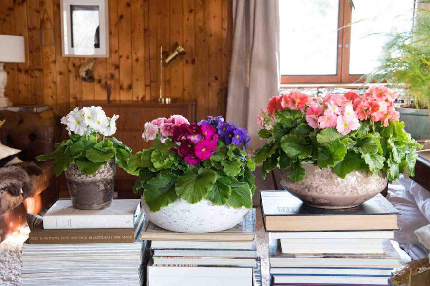 Primula Touch Me voorjaarskleuren