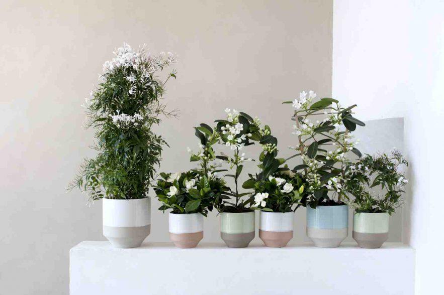 geurende parfumplanten