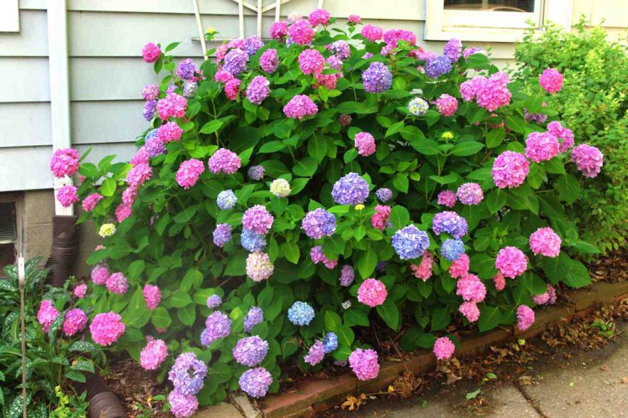 hortensia in twee kleuren