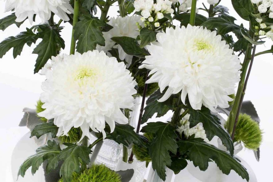 magnum pluis chrysant met grote bloemen