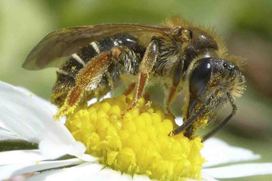honing-bijenvolken, honingbij