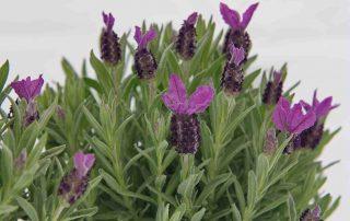 vaste planten voor border en pot