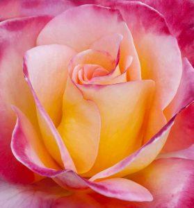 rozenkoningin in Lottum