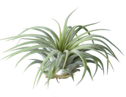 10 tips voor het verzorgen van luchtplantjes