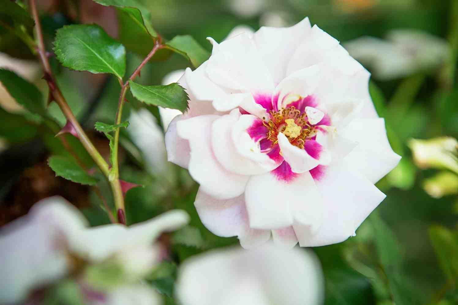 rozen koningin der bloemen