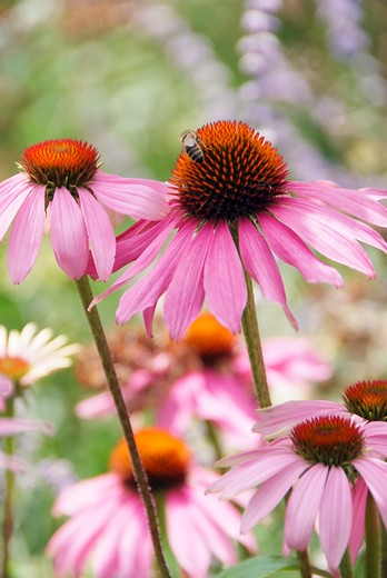 echinacea, zonnehoed