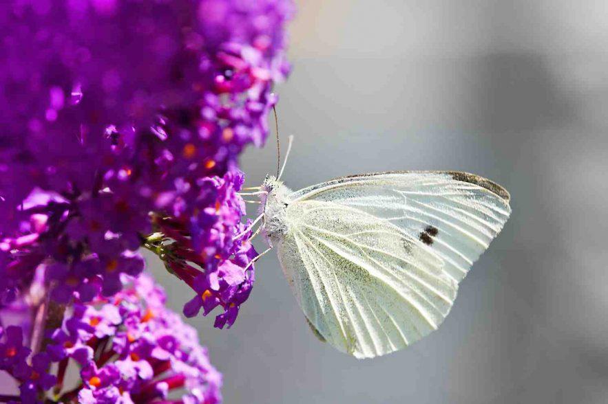 vlinderstruik buddleja