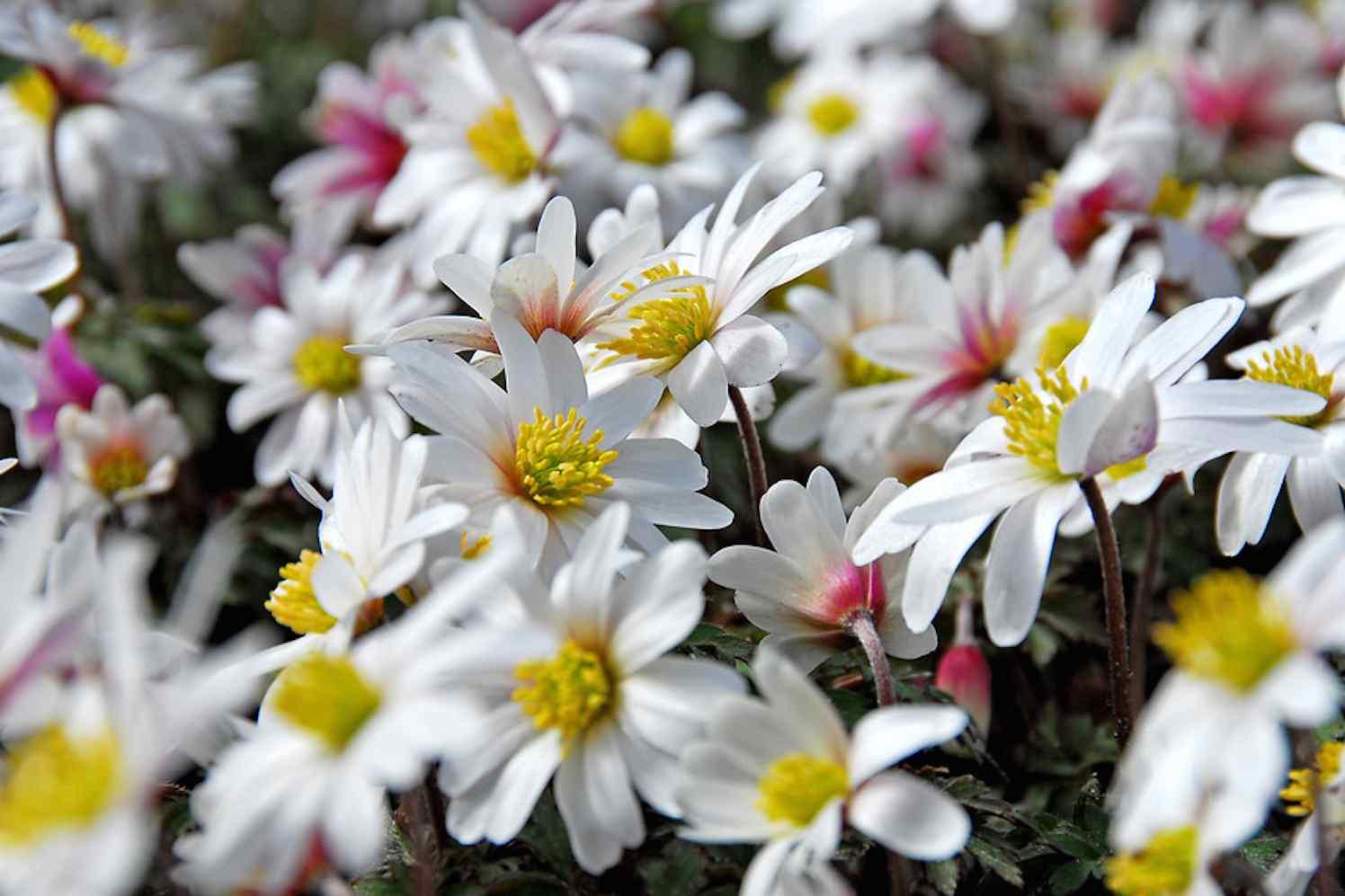 bloembollen en hun verschillen
