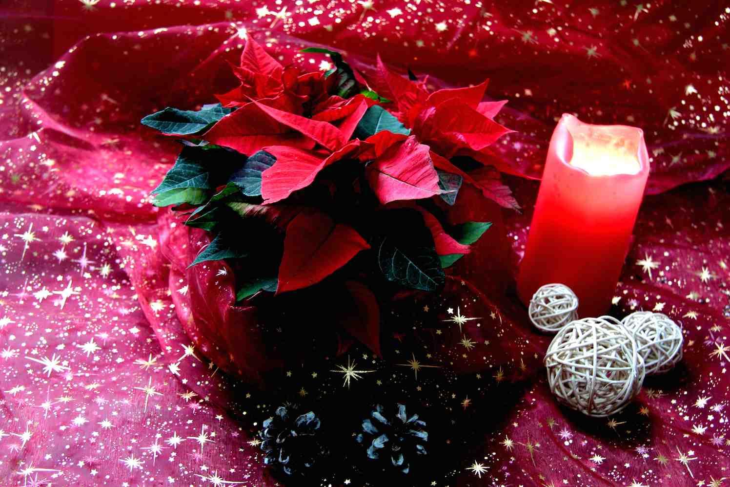 kerstster woonplant van de Kerst