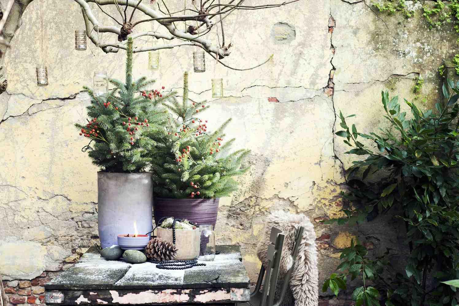 spar Picea, kerstboom