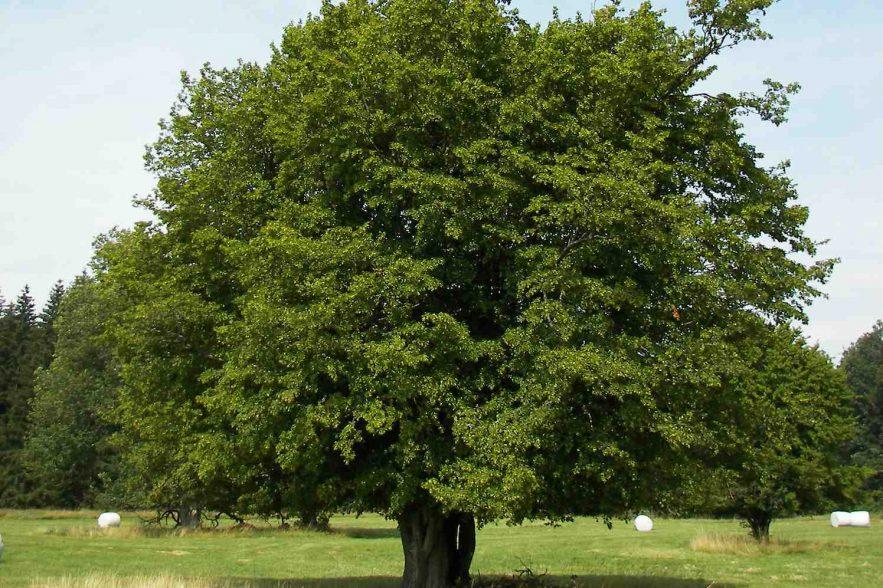 haagbeuk, boom van het jaar 2017