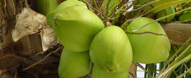 kokospalm met kokosnoten