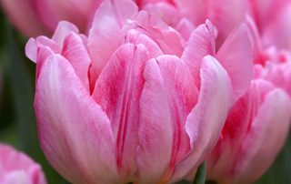 tulpen in de bollenacademie