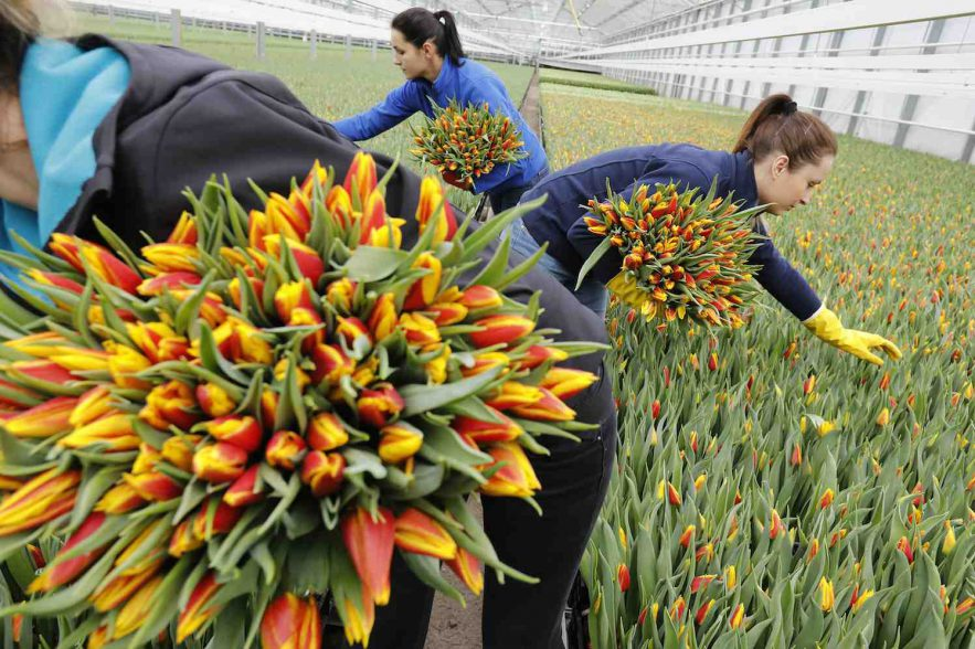 Nieuw record: 2 miljard tulpen