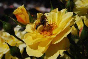 roos als bijenplant
