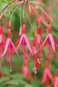 bellenplant vaste planten