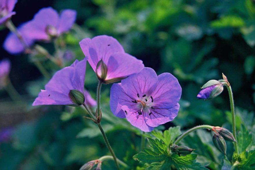 geranium vaste planten