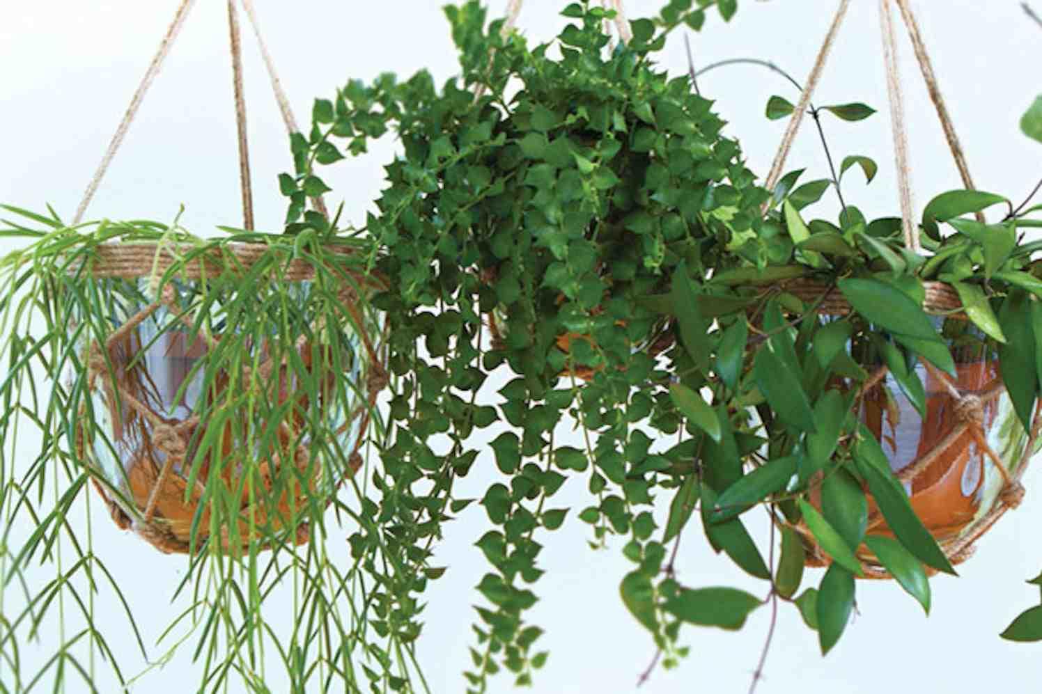 hangplanten voor het regenwoud