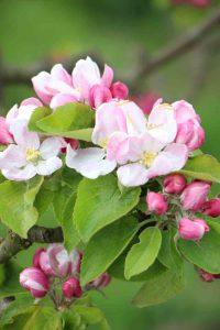 olmenhorst in bloei