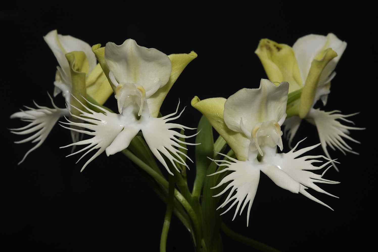 Orchidee Flos Susanna