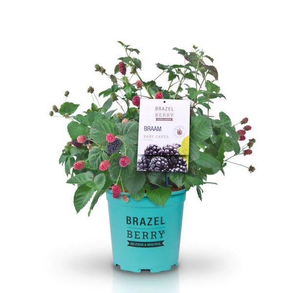 brazelberry