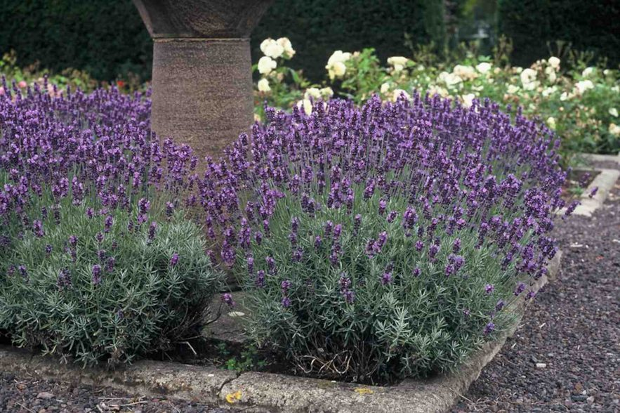 lavendel vaste planten