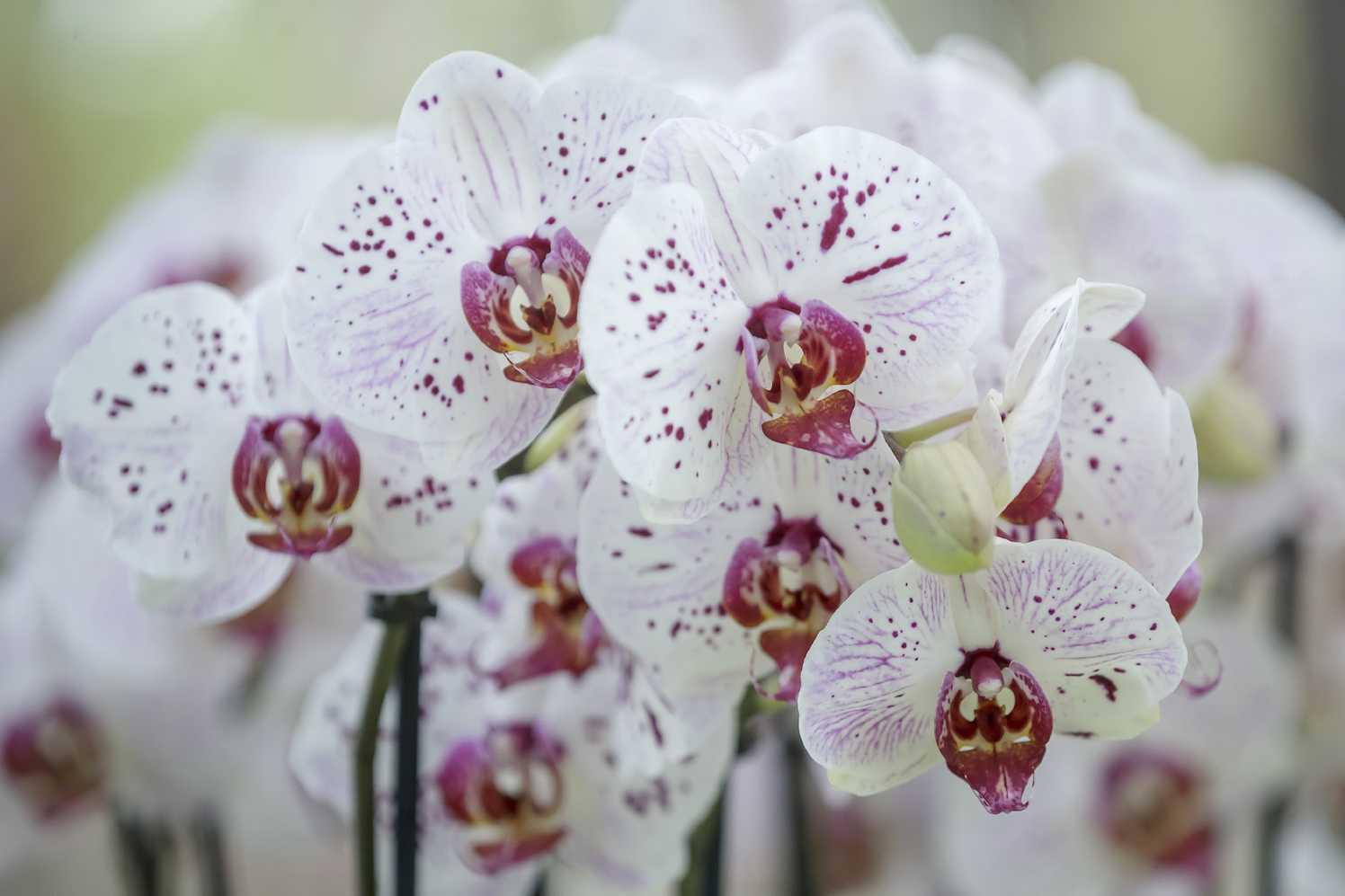 orchideeënshow mode