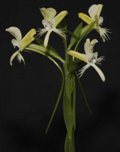sanna orchidee, kroonjuwelen
