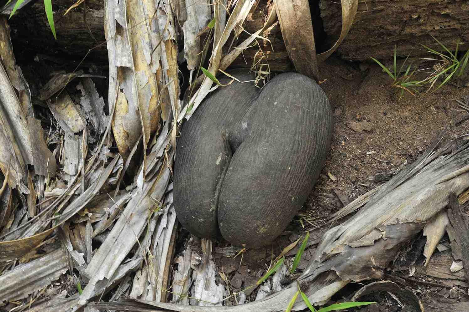 maldivische zeekokosnoot