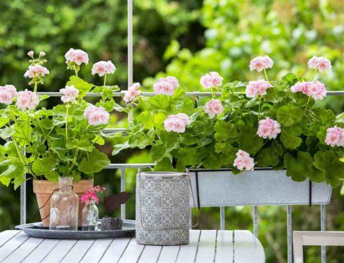 Geranium: de koningin van de balkonplanten