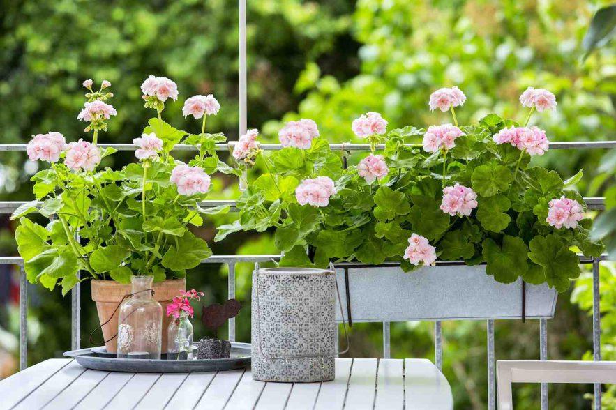 Prachtige geranium en zo eenvoudig in onderhoud