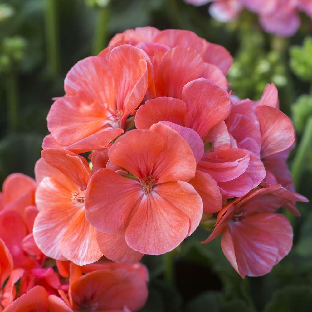 pelargonium en geranium