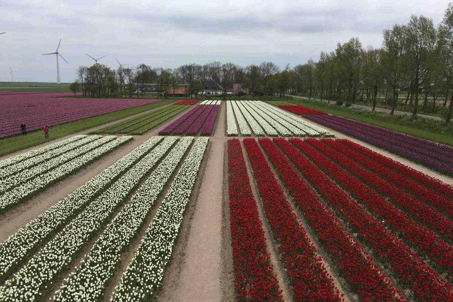 tulpenveld als Mondriaan schilderij