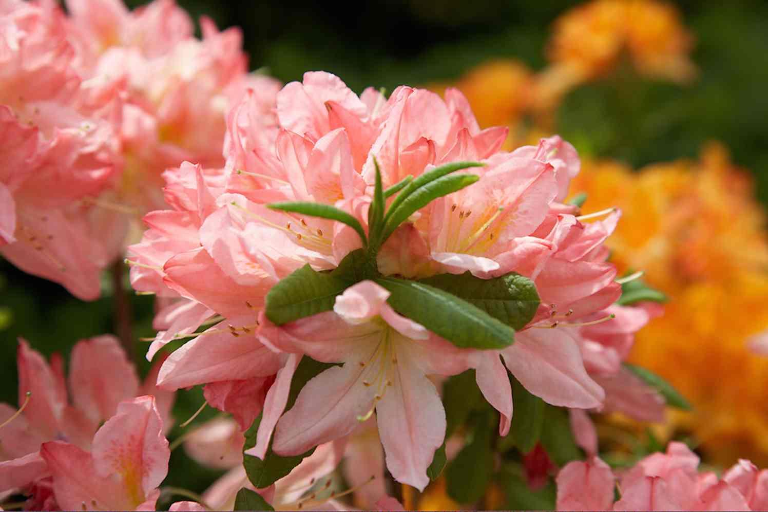 10 planten die het goed doen op veengrond rhododendron