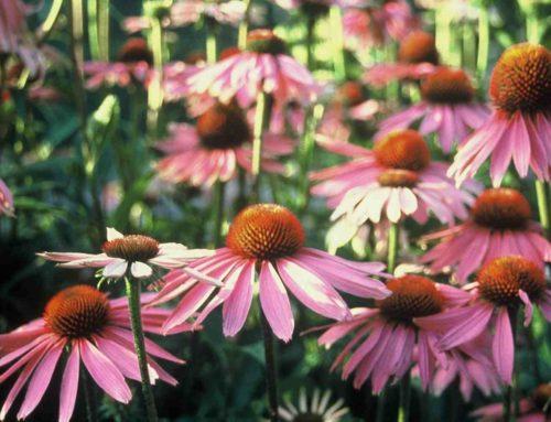De vaste planten top 10 van plukbloemen
