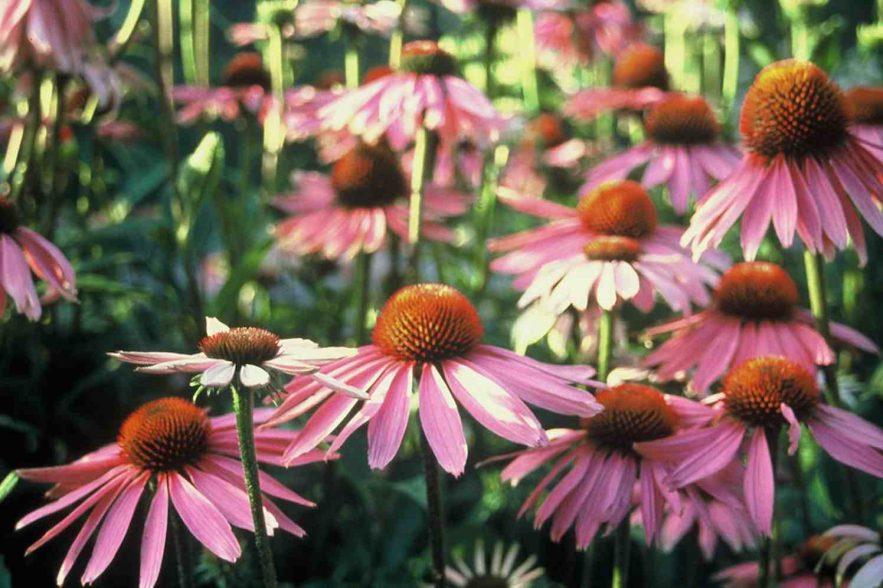 echinacea zonnehoed plukbloemen