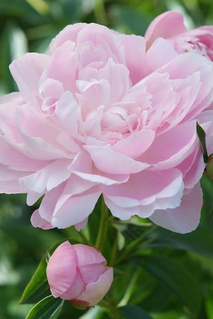 pioenroos-top 10 van plukbloemen
