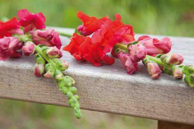 gladiolen op de 4-daagse