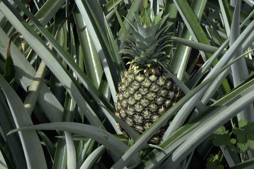 ananas het kroonjuweel